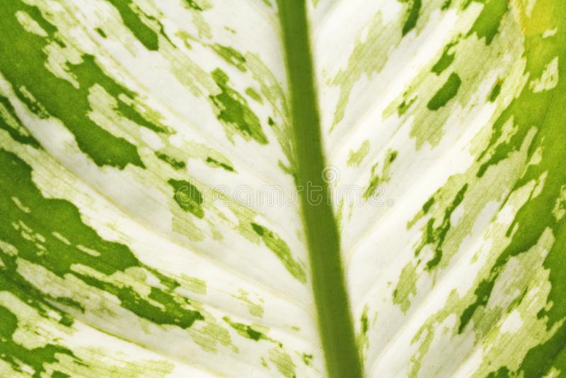 Hoja verde de la textura, dieffenbachia imágenes de archivo libres de regalías
