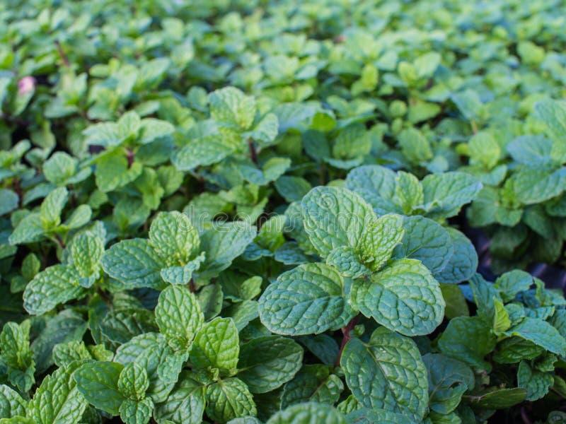 Hoja verde de Pepperment en la tierra fotos de archivo