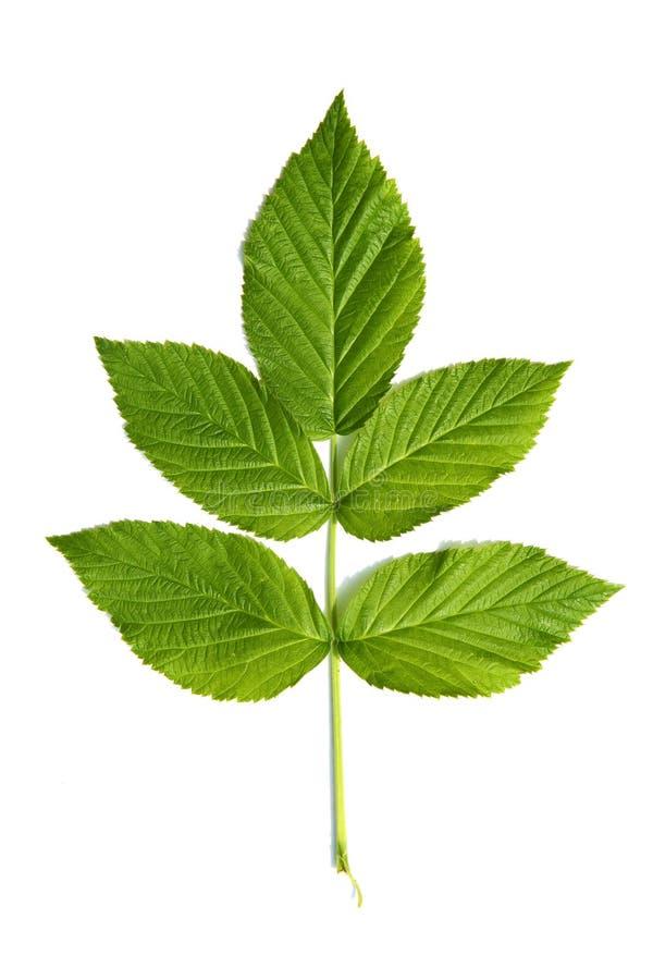 Hoja verde de una planta foto de archivo libre de regalías