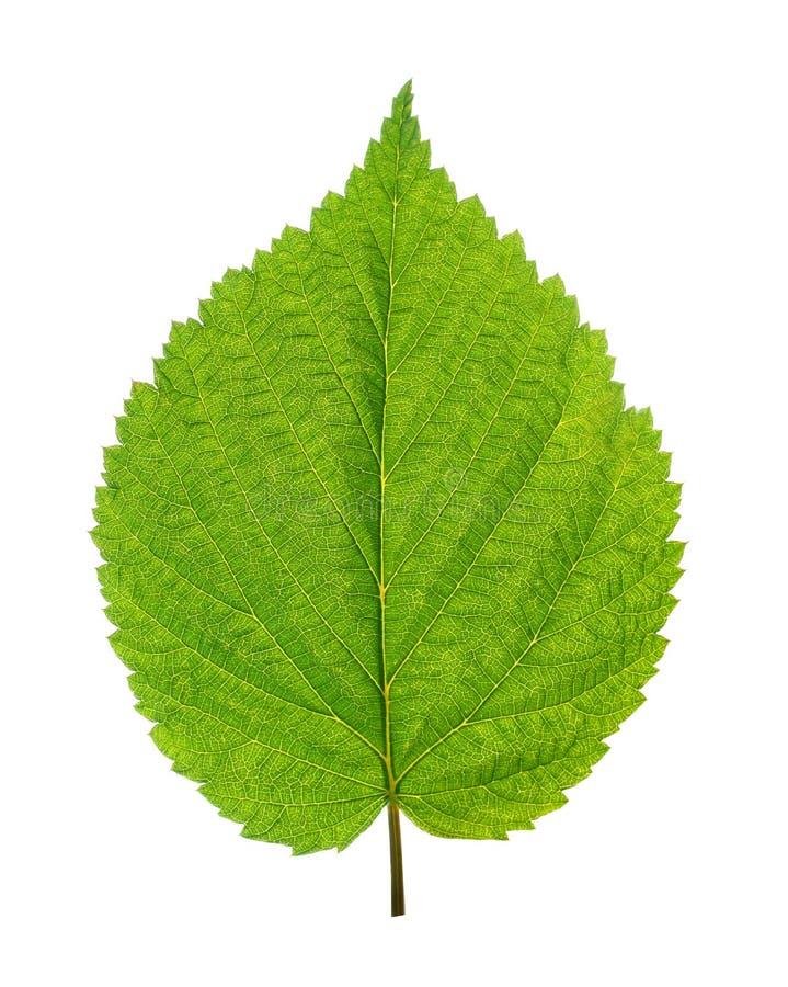 Hoja verde del árbol de abedul imagenes de archivo