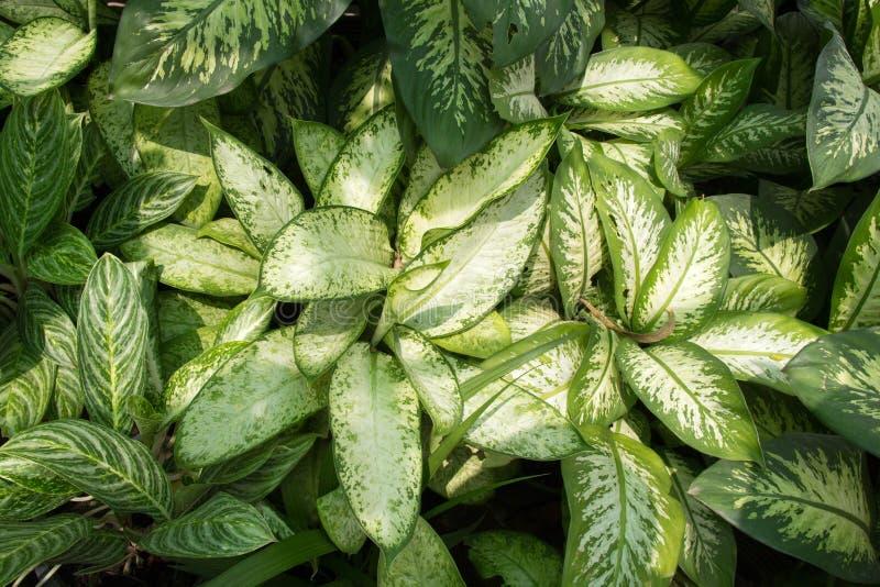 Hoja verde del Dieffenbachia fotos de archivo