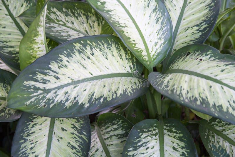 Hoja verde del Dieffenbachia fotos de archivo libres de regalías