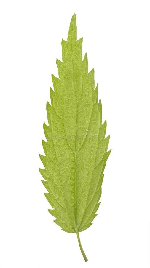 Hoja verde del dioica del Urtica, conocida a menudo como la ortiga común u ortiga de picadura del Urticaceae de la familia aislad fotografía de archivo