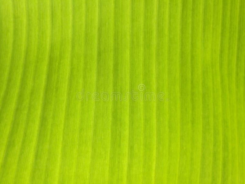 Hoja verde del plátano en luz del sol del mediodía imagenes de archivo