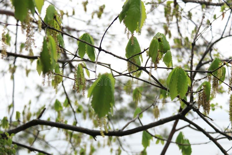 Hoja verde del ?rbol fotos de archivo