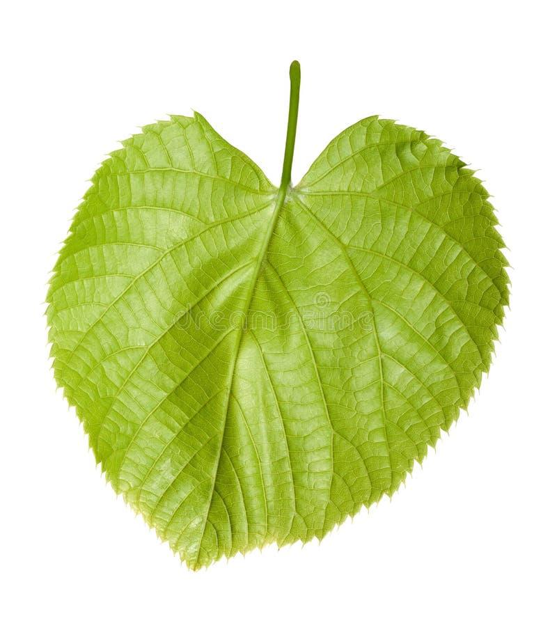 Hoja verde del tilo-árbol imagenes de archivo
