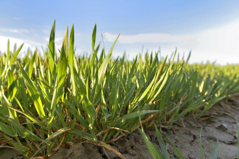 Hoja verde del trigo joven imágenes de archivo libres de regalías