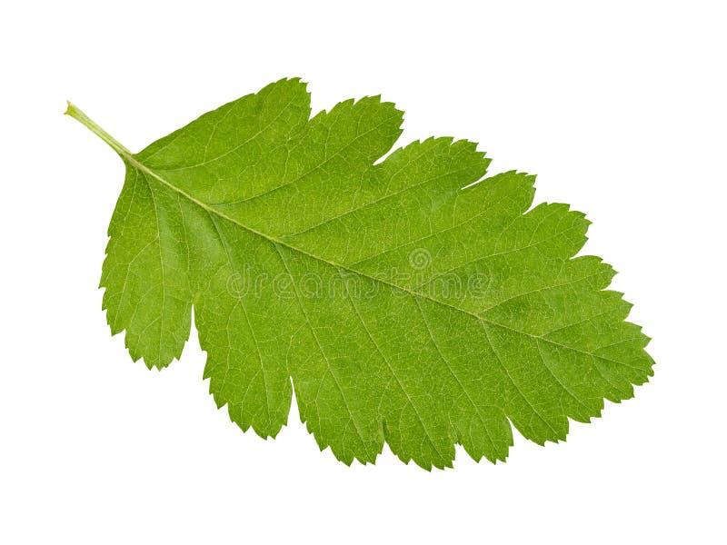 Hoja verde en blanco foto de archivo libre de regalías