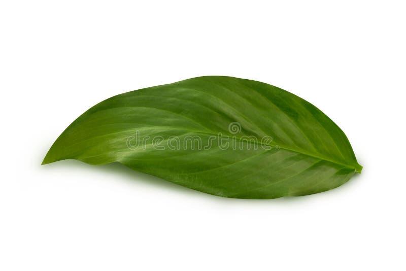 Hoja verde en el blanco fotografía de archivo