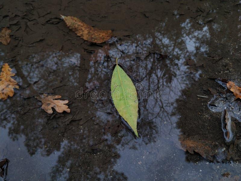 Hoja verde en un charco del agua fotografía de archivo
