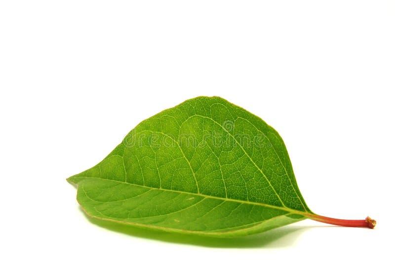 Hoja verde fresca imagen de archivo libre de regalías