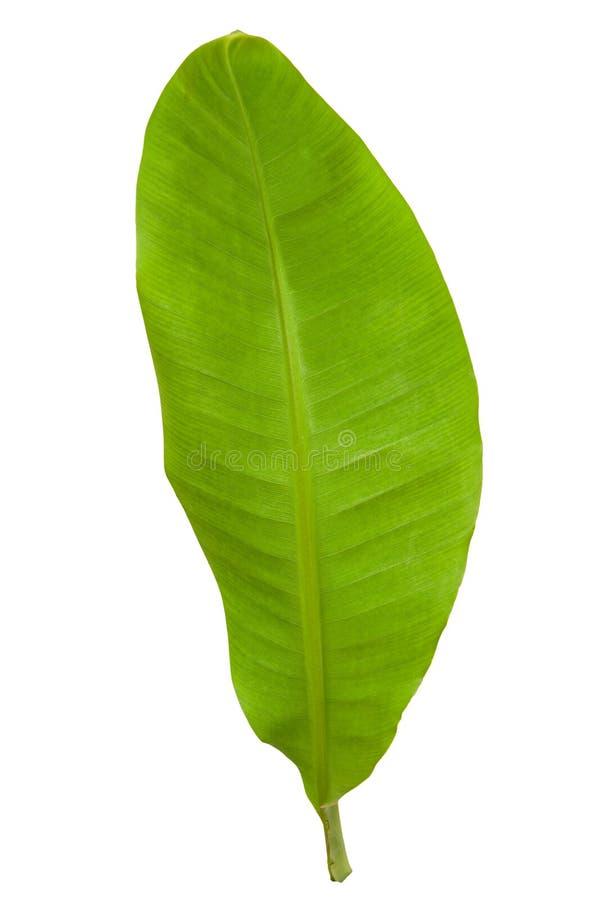 Hoja verde fresca del plátano fotografía de archivo
