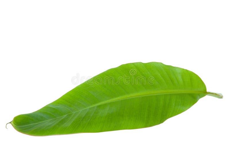 Hoja verde fresca del plátano imágenes de archivo libres de regalías