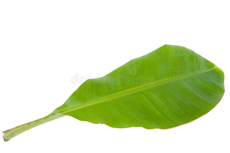 Hoja verde fresca del plátano aislada imágenes de archivo libres de regalías