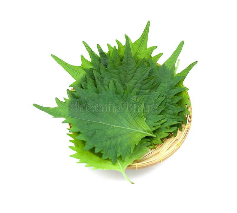 Hoja verde fresca del shiso en el fondo blanco fotografía de archivo