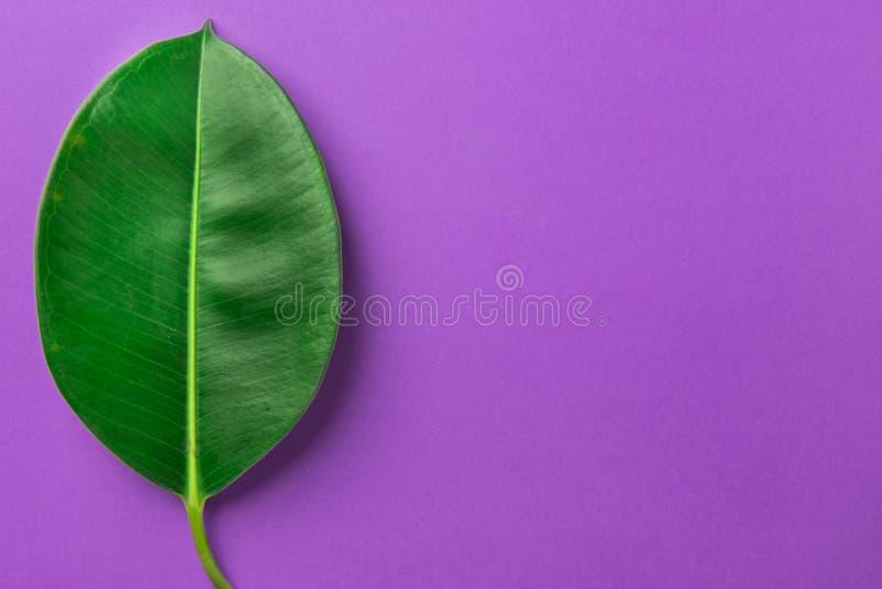 Hoja verde fresca grande de los ficus en fondo púrpura Estilo minimalista Plantilla botánica El cultivar un huerto orgánico de la imagen de archivo libre de regalías