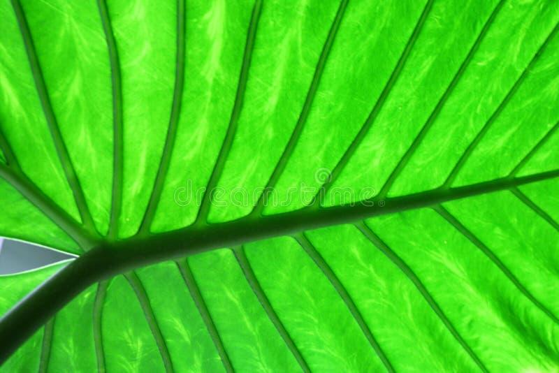Hoja verde grande imagen de archivo