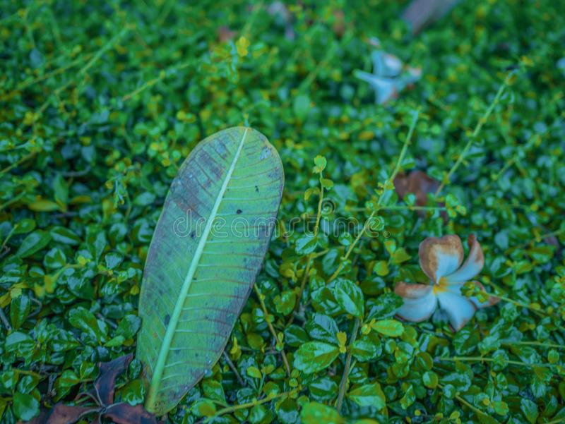 Hoja verde grande en la pequeña hoja verde fotografía de archivo libre de regalías