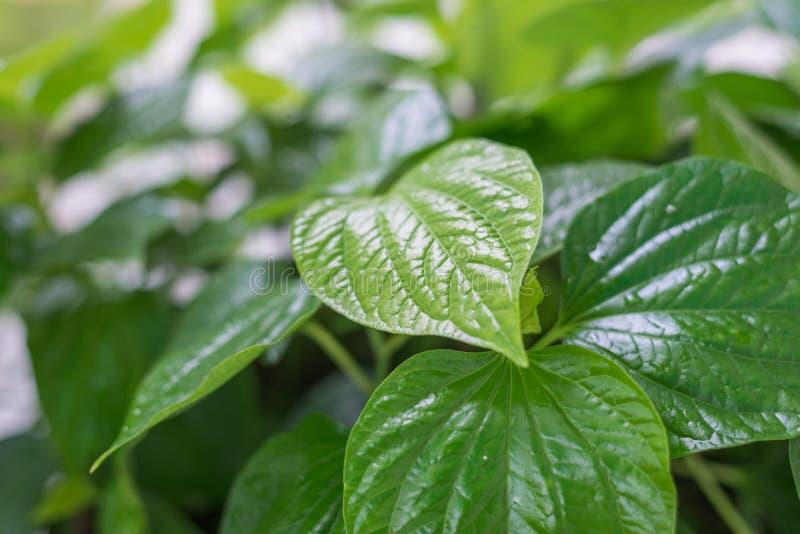 hoja verde, hierba tailandesa Wildbetal Leafbush en jardín imagen de archivo libre de regalías