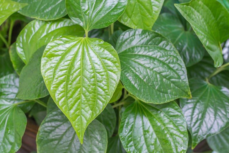 hoja verde, hierba tailandesa Wildbetal Leafbush en jardín fotografía de archivo