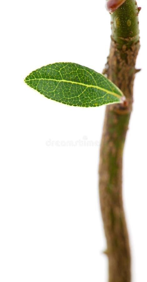 Hoja verde joven fotografía de archivo