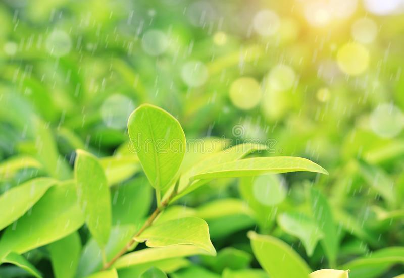 Hoja verde joven del top del árbol del primer con llover en fondo borroso en el jardín La naturaleza se va en el campo para el us foto de archivo