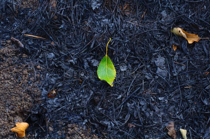 Hoja verde joven en el fondo de la hierba quemada fotografía de archivo