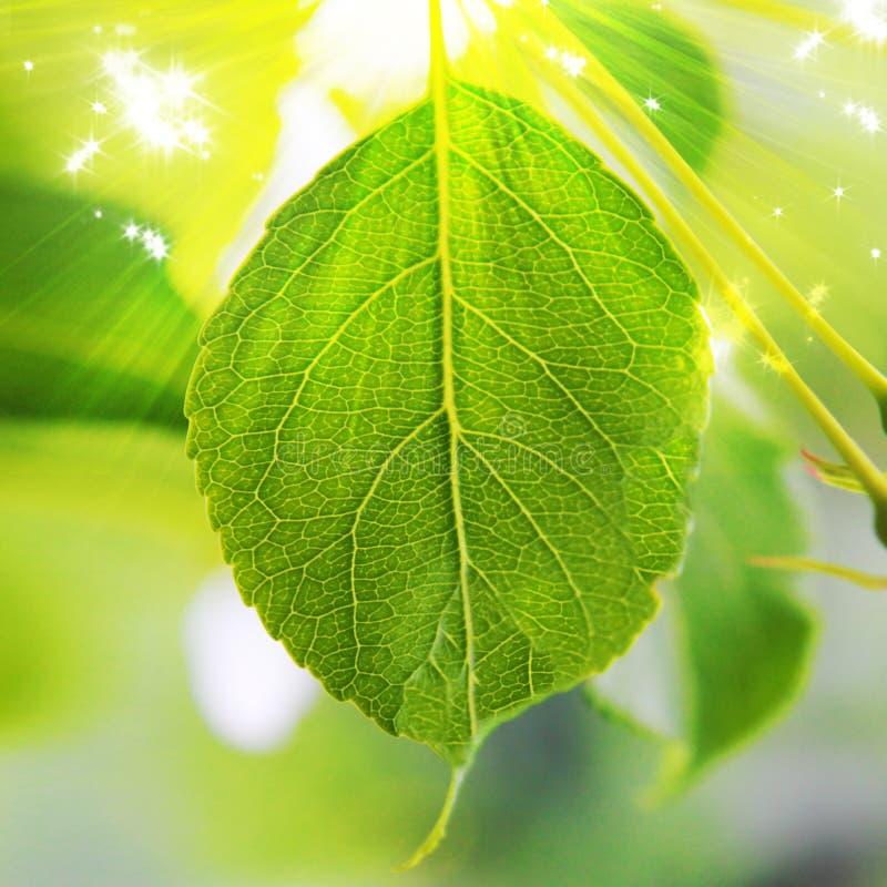 Hoja verde jugosa en la luz del sol fotografía de archivo libre de regalías
