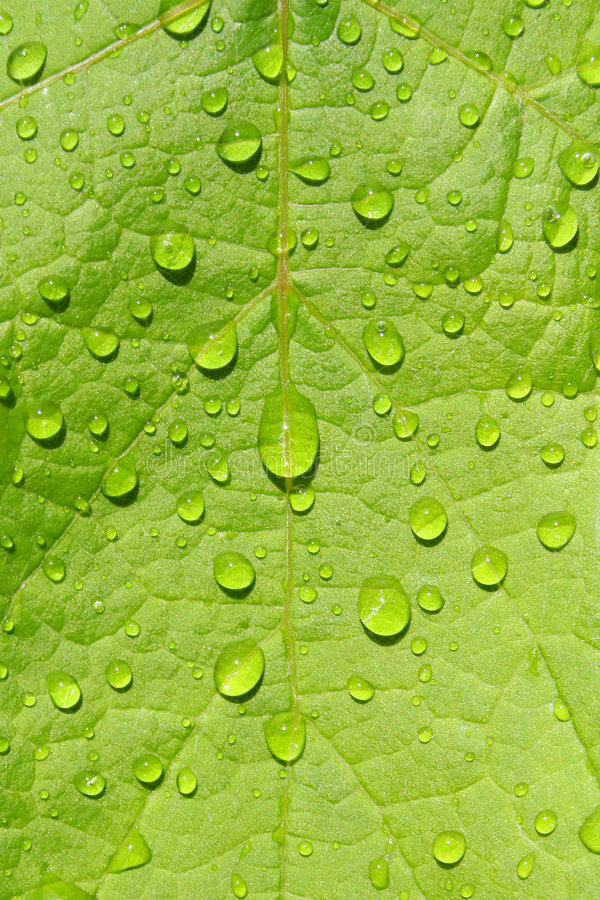 Hoja verde mojada imagen de archivo libre de regalías