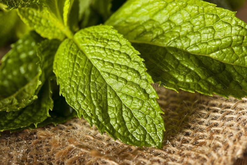 Hoja verde orgánica de la menta foto de archivo