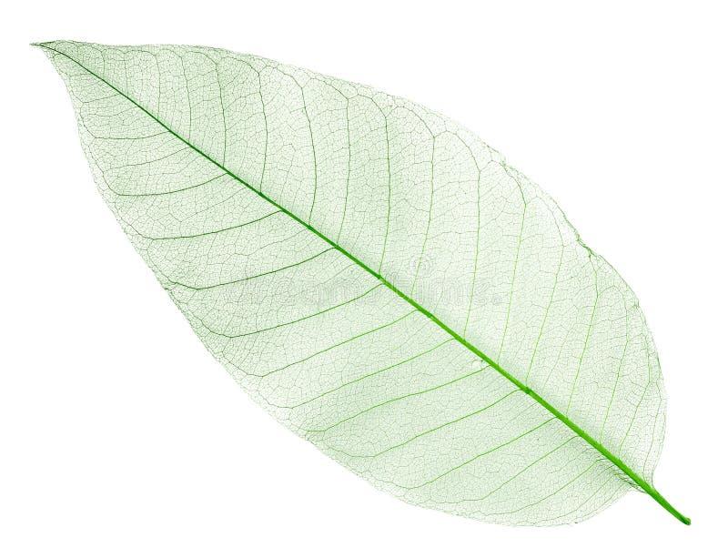 Hoja verde secada aislada en blanco foto de archivo