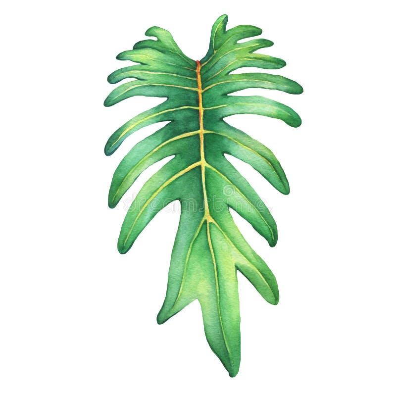 Hoja verde tropical de la planta de Xanadu del philodendron ilustración del vector