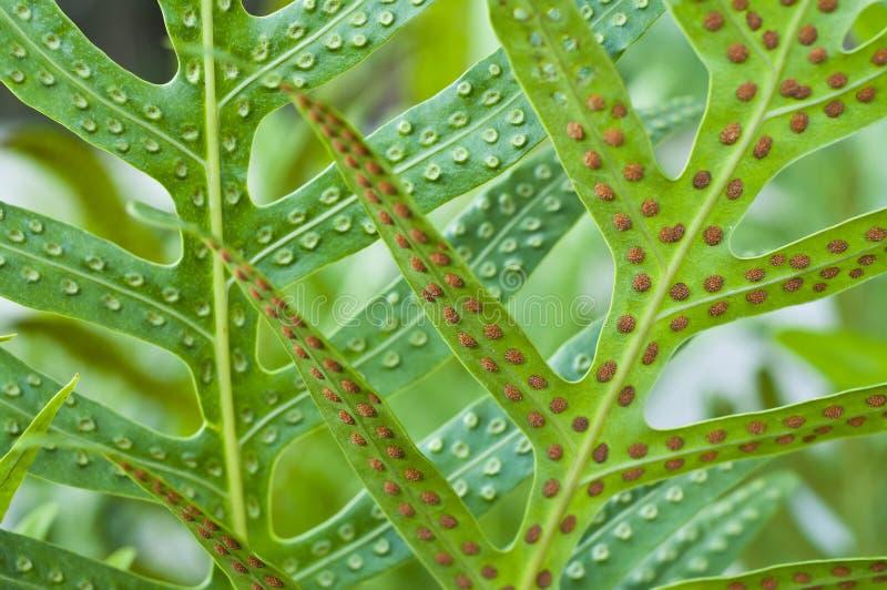 Hoja y espora del helecho. foto de archivo libre de regalías