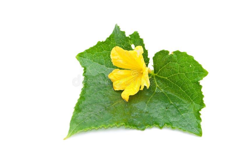 Hoja y flor del pepino imagenes de archivo