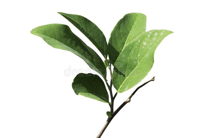 Hoja y rama verdes en fondo blanco aislado imagenes de archivo