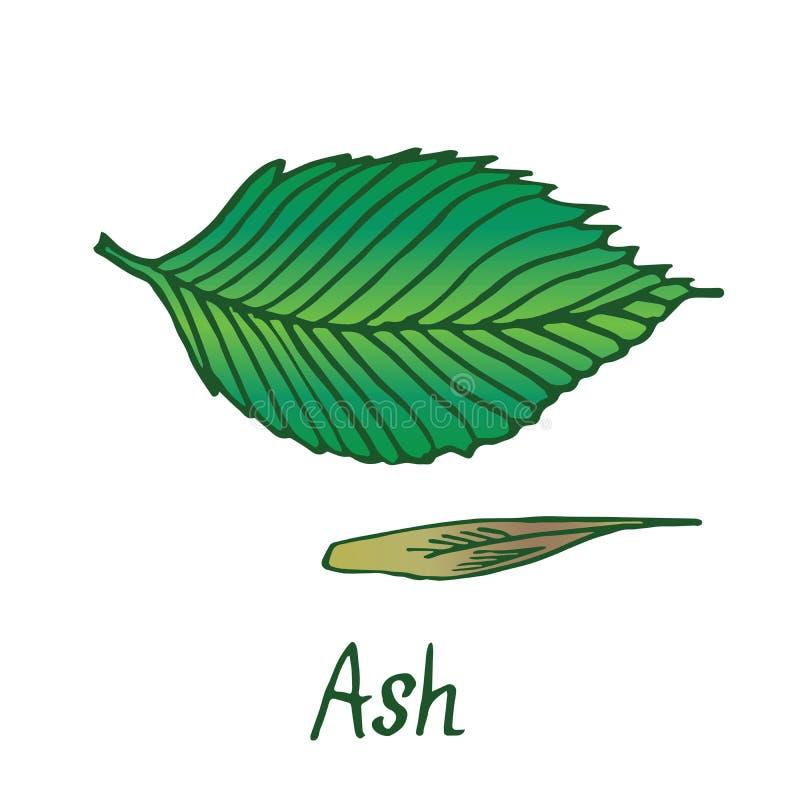 Hoja y semilla, garabato exhausto de la mano, bosquejo del Fraxinus del árbol de ceniza libre illustration