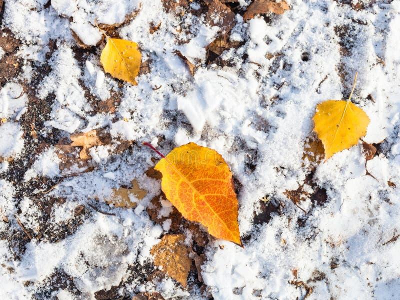 Hojas amarillas caidas en la tierra cubierta con nieve imagen de archivo libre de regalías