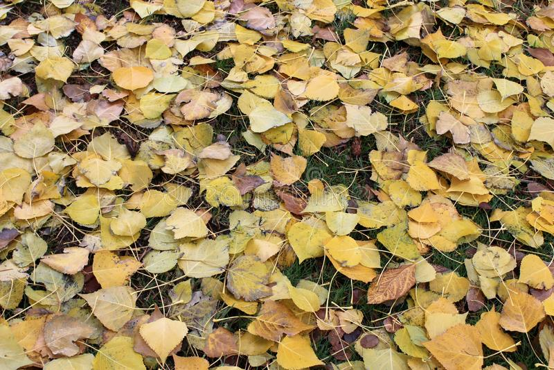 Hojas amarillas caidas encima de la hierba verde fotos de archivo libres de regalías