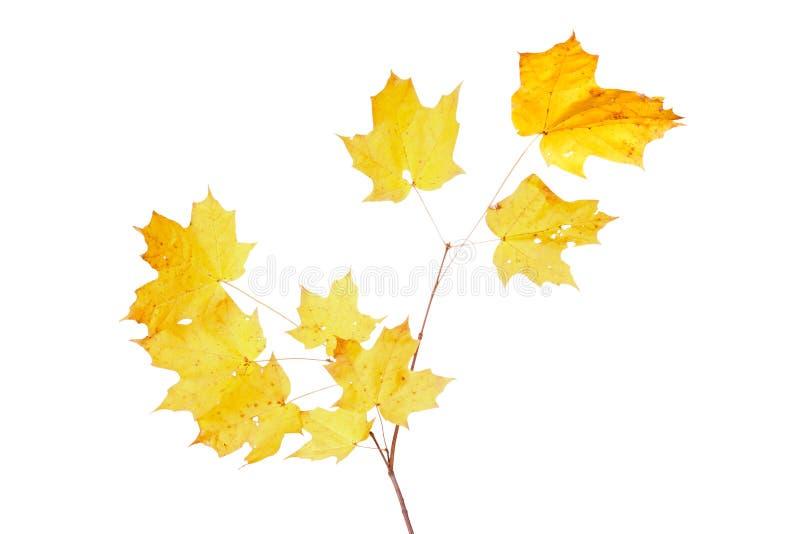 Hojas amarillas de la caída de un arce de azúcar imagen de archivo