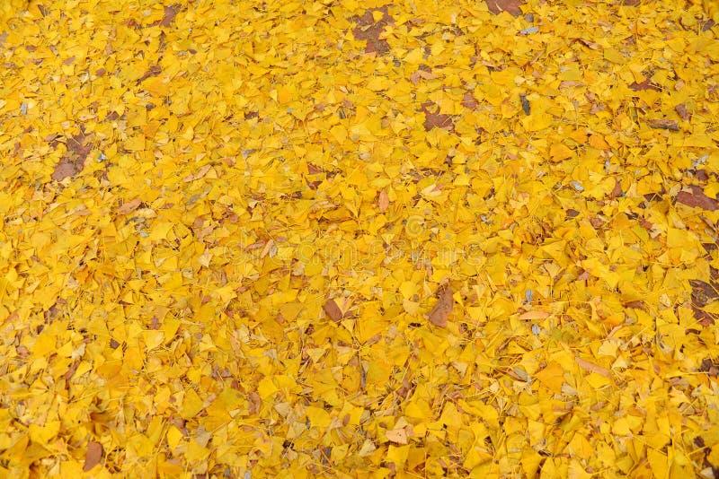 Hojas amarillas del Ginkgo imagenes de archivo