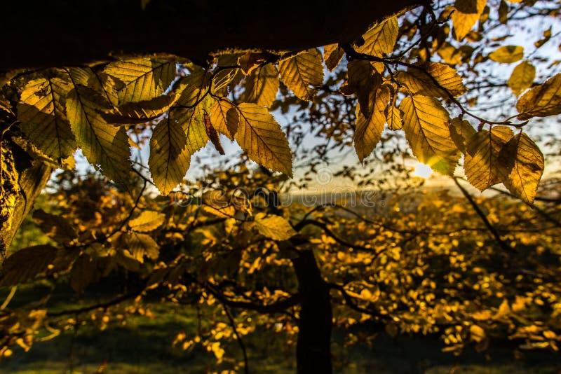 Hojas amarillas del otoño fotos de archivo