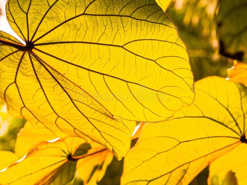 Hojas amarillas del otoño en la luz del sol imagenes de archivo