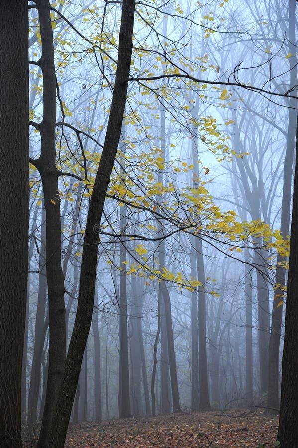 Hojas amarillas en bosque de niebla del invierno imagen de archivo