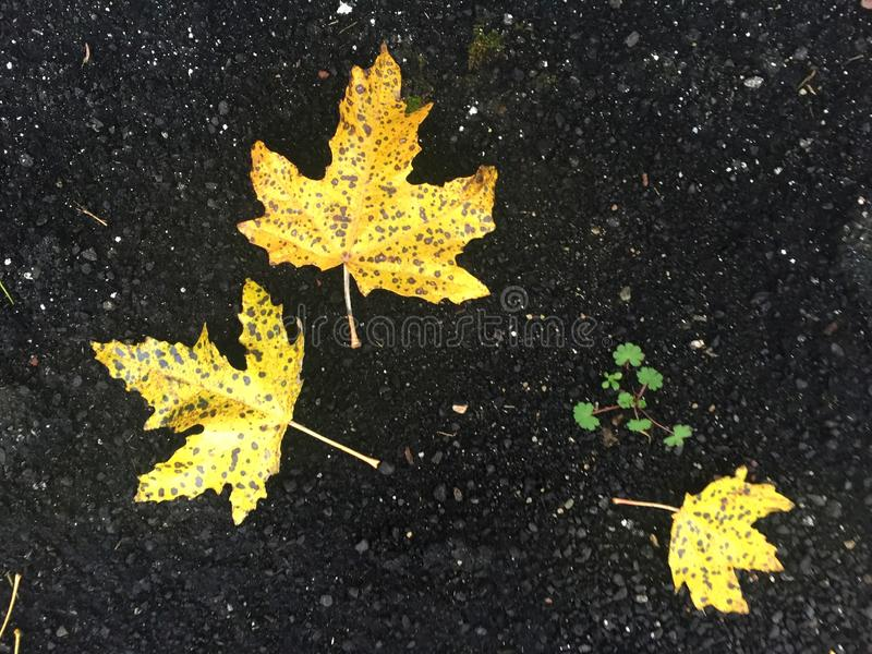Hojas amarillas en el asfalto negro fotografía de archivo