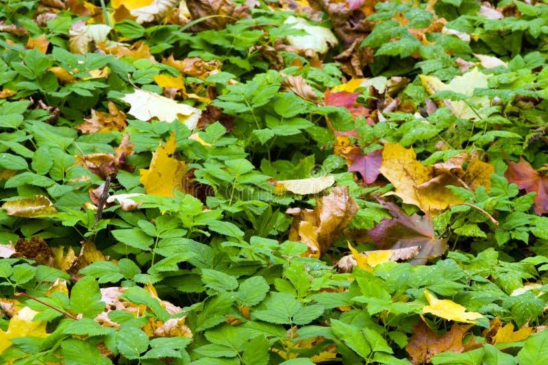 Hojas amarillas y del rojo en una hierba fotografía de archivo libre de regalías