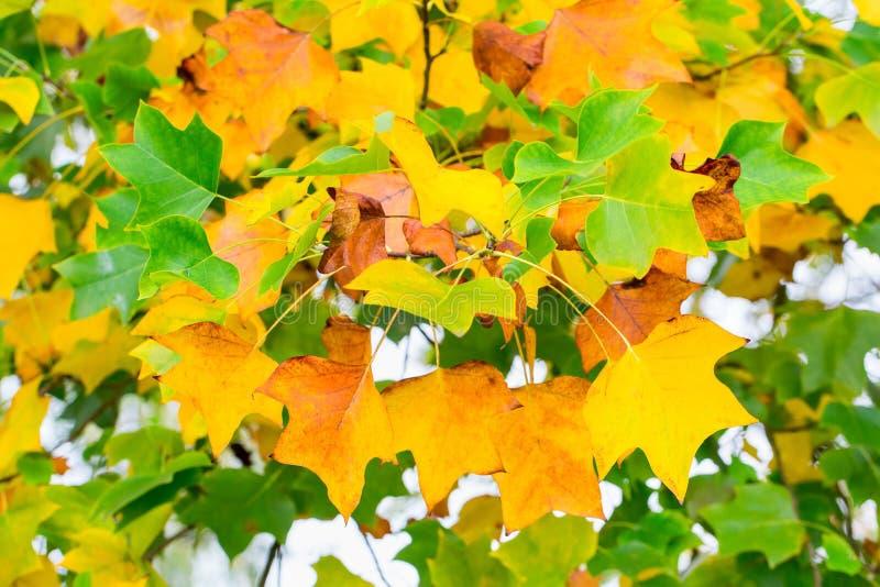 Hojas amarillas y verdes del árbol en otoño imagen de archivo