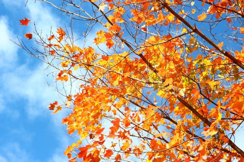 Hojas amarillo-naranja del rojo contra los cielos azules imagenes de archivo