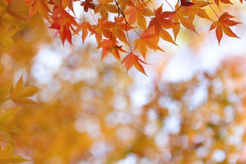 Hojas anaranjadas del árbol de arce japonés foto de archivo libre de regalías