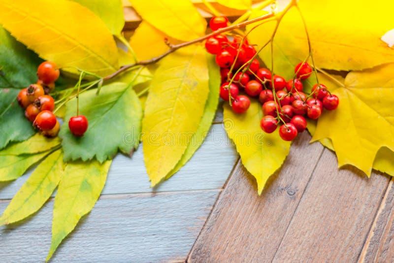 Hojas ashberry y caidas anaranjadas en un fondo de madera Día feliz de la acción de gracias y de la cosecha Capítulo del amarillo foto de archivo libre de regalías