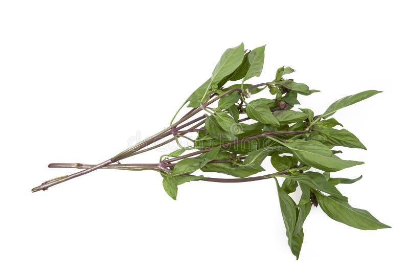 Hojas asiáticas dulces de la albahaca en el fondo blanco imagen de archivo libre de regalías